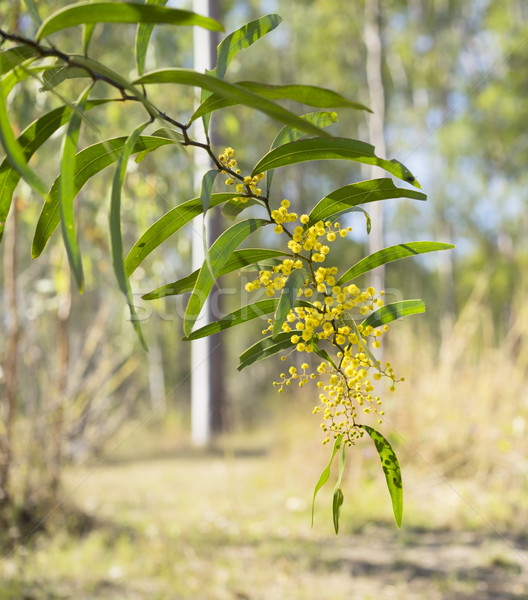 Sunlit Australian Zig-zag Wattle Flower Acacia macradenia Stock photo © sherjaca