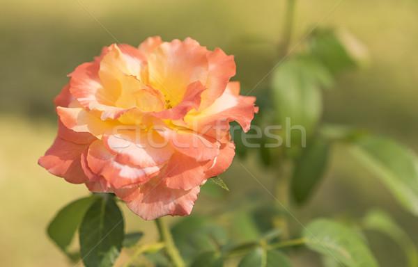 Steeg begrafenis tragedie verdriet pastel bloem Stockfoto © sherjaca