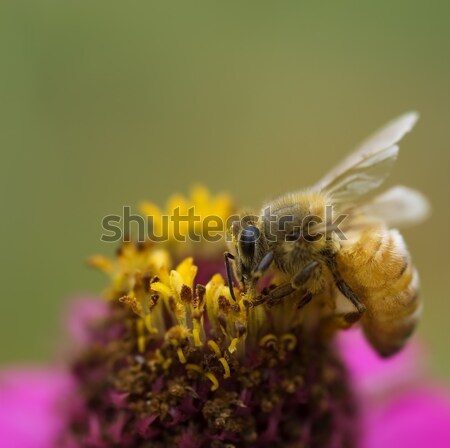 Stock photo: busy bee autumn worker on pink and yellow flower