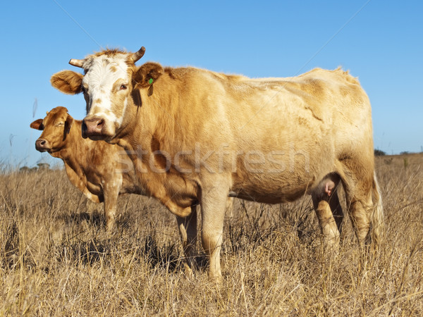 Australian beef cattle in dry winter pasture Stock photo © sherjaca