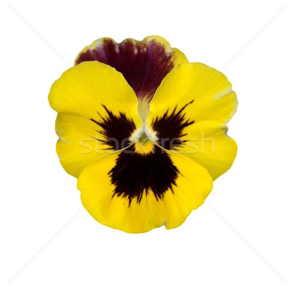 Yalıtılmış sarı bahar mor çiçek kart Stok fotoğraf © sherjaca