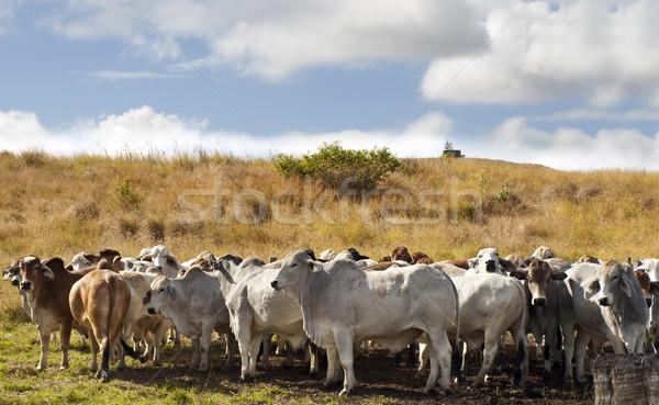Herd of brahman beef cattle cows Stock photo © sherjaca