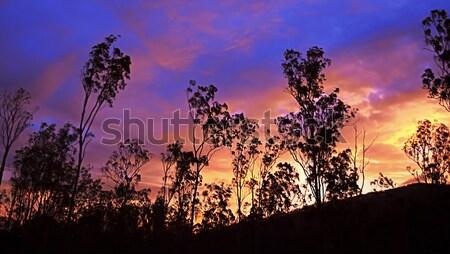 Australian sunrise with gum trees silhouette Stock photo © sherjaca