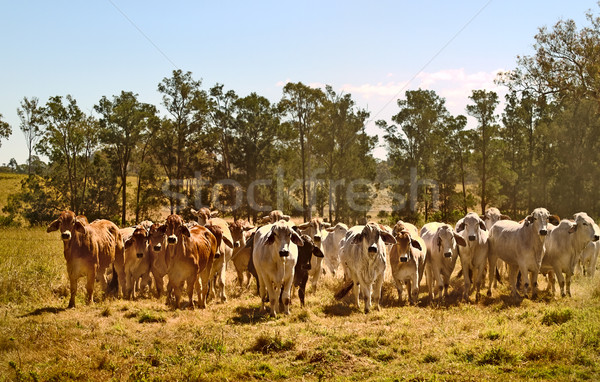 Australia cattle ranch Australian brahma beef cows Stock photo © sherjaca