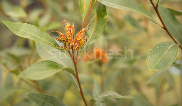 Australian Grevillea flower young inflorescence Stock photo © sherjaca