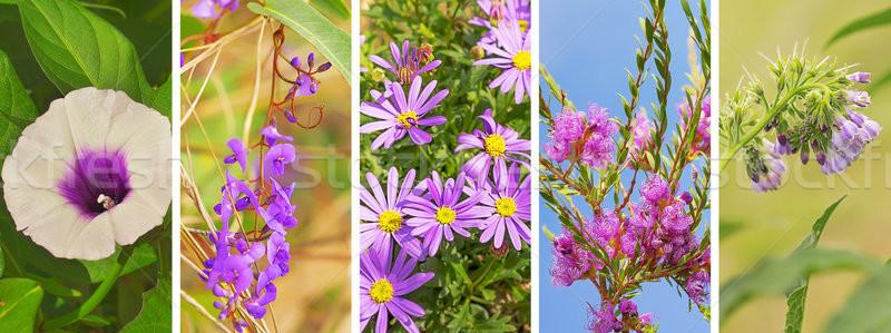紫色の花 バナー フローラル パノラマ ライラック 紫色 ストックフォト © sherjaca