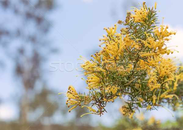 Clusters of Australian Grevillea flowers Stock photo © sherjaca