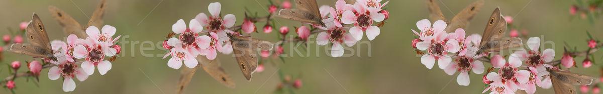 панорамный баннер бабочка цветы австралийский Сток-фото © sherjaca