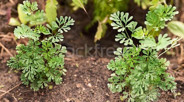 органический трава здорового завода растущий жить Сток-фото © sherjaca