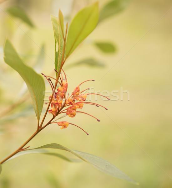 Australisch inlander wildflower spin bloem oranje Stockfoto © sherjaca