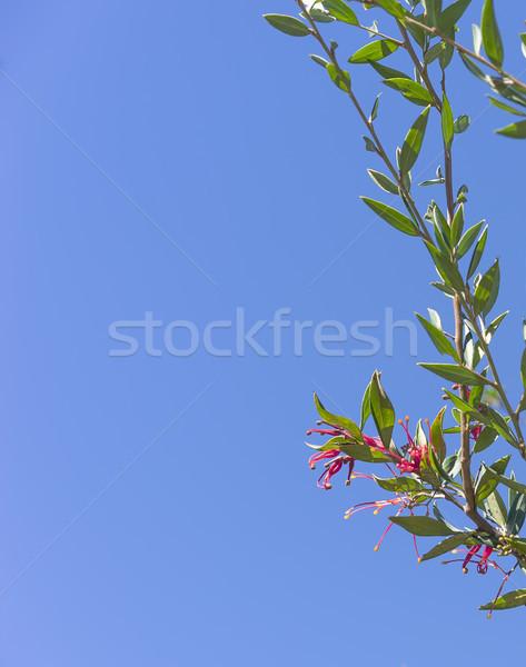 Kırmızı çiçek açık gökyüzü avustralya yeşil yeşillik Stok fotoğraf © sherjaca
