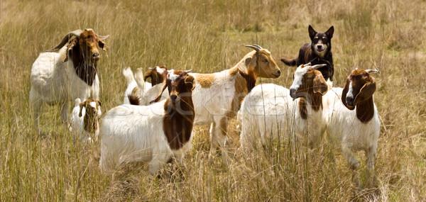 working dog australian kelpie herds goats Stock photo © sherjaca