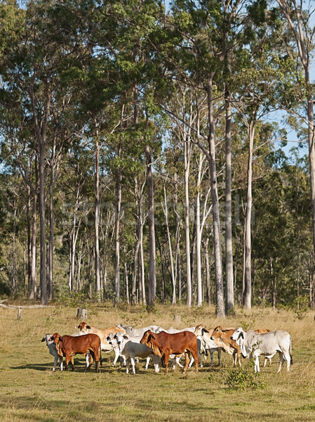 Australian beef cattle herd Stock photo © sherjaca