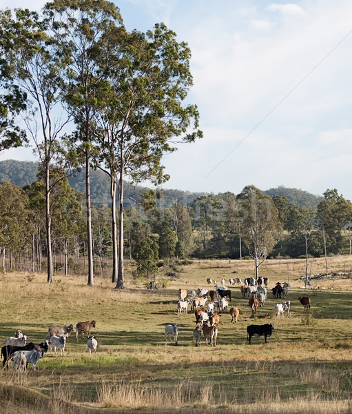Herd of cows on Australian cattle station Stock photo © sherjaca