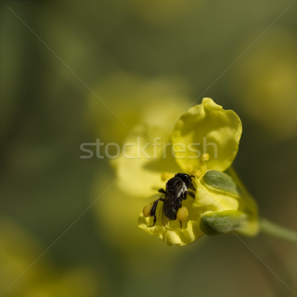 spring very tiny australian native stingless bee collects pollen Stock photo © sherjaca