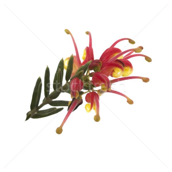 bright Spring flower Grevillea Fireworks australian native plant Stock photo © sherjaca