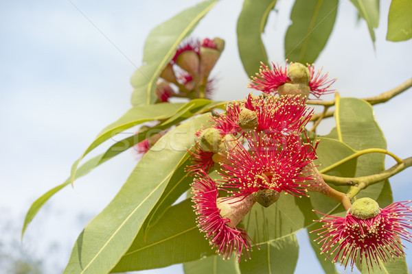 Australian red flower eucalyptus tree Stock photo © sherjaca