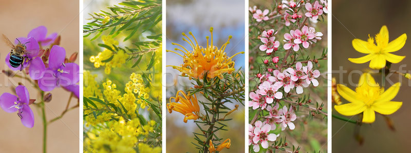 Panoramic set of Australian wildflowers Stock photo © sherjaca