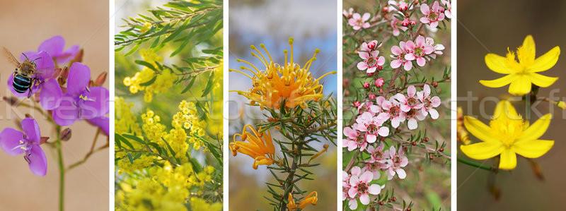 панорамный набор австралийский Полевые цветы баннер Панорама Сток-фото © sherjaca