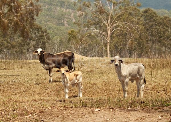Rundvlees vee koe kudde live voorraad Stockfoto © sherjaca