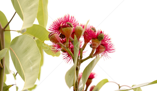 Australian Eucalyptus ptychocarpa red flowering bloodwood Stock photo © sherjaca