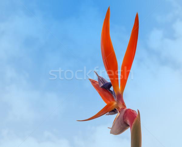 Strelitzia reginae, Bird of paradise Stock photo © sherjaca