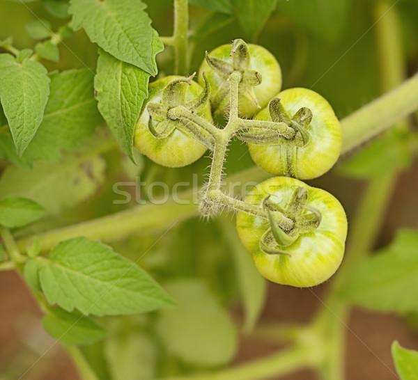 Organic immature green tomatoes Stock photo © sherjaca