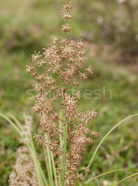 Australian native grass plant Lomandra multiflora Matrush Stock photo © sherjaca