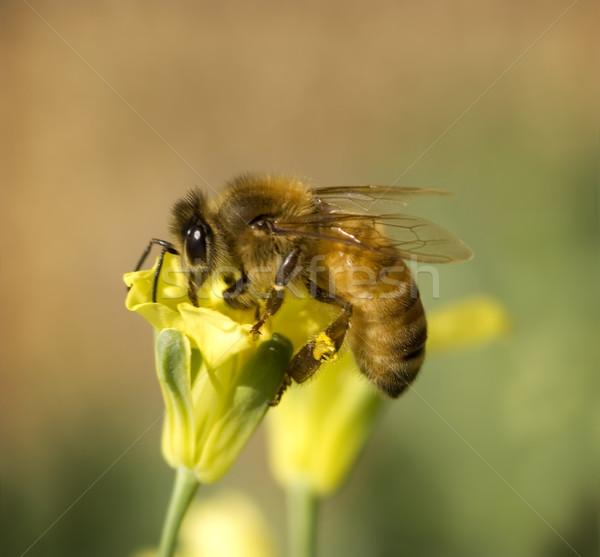 Zajęty pracownika Pszczoła pyłek żółty wiosną Zdjęcia stock © sherjaca