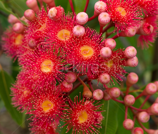 red flowers gum tree eucalyptus phytocarpa hybrid australian nat Stock photo © sherjaca