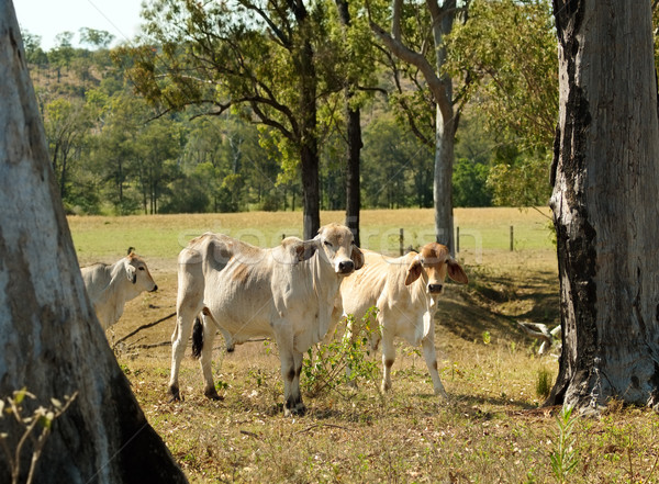 Stock photo: Australian cattle ranch pastoral farm young brahman bulls