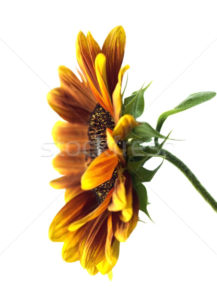 sunflower Helianthus annuus over white Stock photo © sherjaca