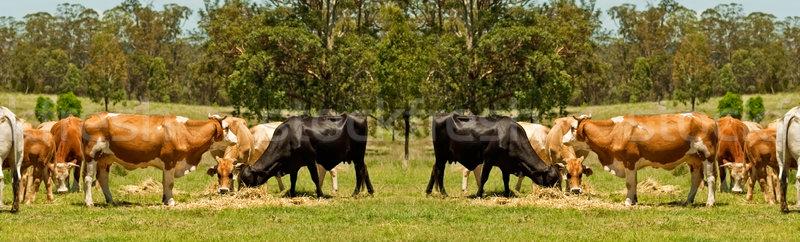 Australisch rundvlees vee koe grens scène Stockfoto © sherjaca