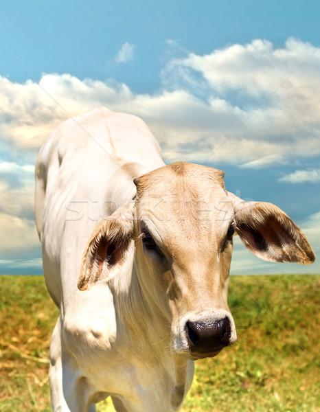 Stock fotó: Egyedüli · marhahús · szarvasmarha · fajta · nyár · tehén