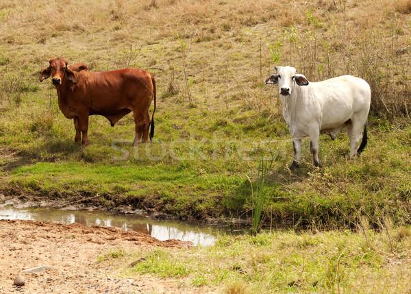 коричневый белый коров свободный ручей Сток-фото © sherjaca
