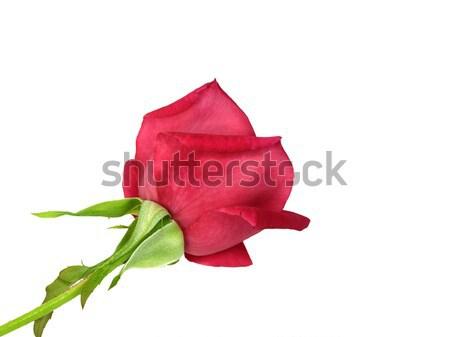 Kırmızı gül çiçek yalıtılmış beyaz sevmek gül Stok fotoğraf © sherjaca