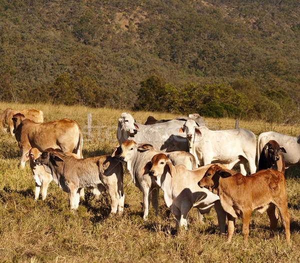 Australian beef cattle Brahman heifers Stock photo © sherjaca