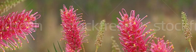 Сток-фото: австралийский · диких · цветов · баннер · Панорама · природы · розовый