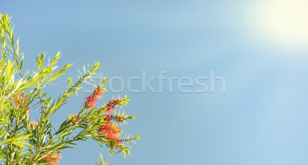 солнечный свет австралийский похороны Blue Sky красные цветы Сток-фото © sherjaca
