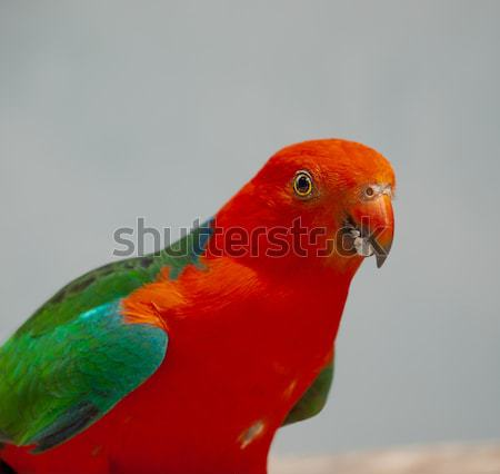 Australian King Parrot Alisterus scapularis Close Up Stock photo © sherjaca