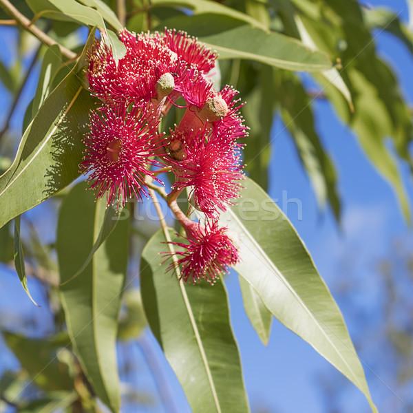 Avustralya ikonik kırmızı sakız çiçekler yeşil Stok fotoğraf © sherjaca