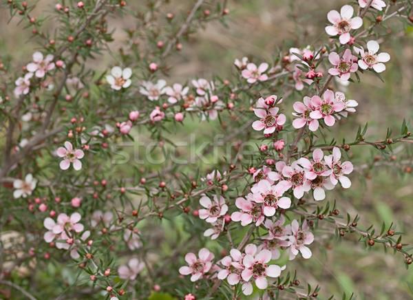 Spring Australian wildflower Leptospernum Pink Cascade flower Stock photo © sherjaca