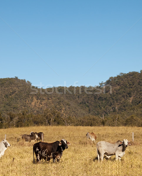 Stock photo: Australian Cows and sky portrait view