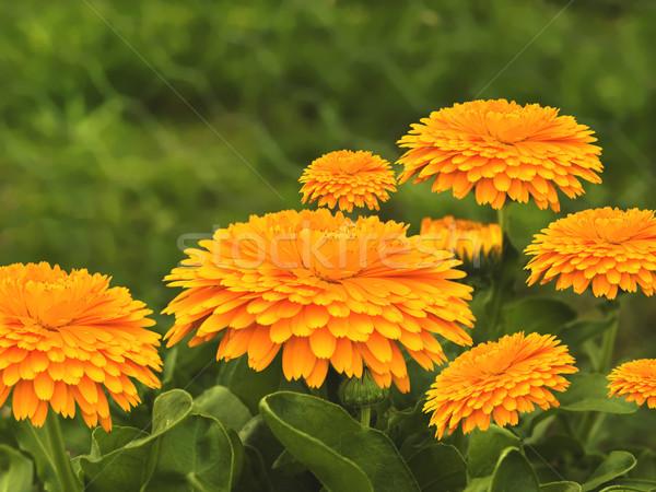 весны цветы фон природы лист оранжевый Сток-фото © sherjaca