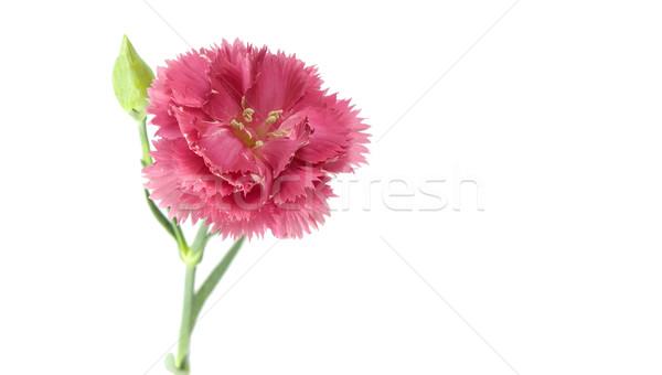 розовый гвоздика цветок изолированный белый природы Сток-фото © sherjaca
