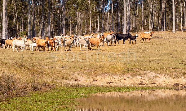Australian beef cattle near water dam Stock photo © sherjaca