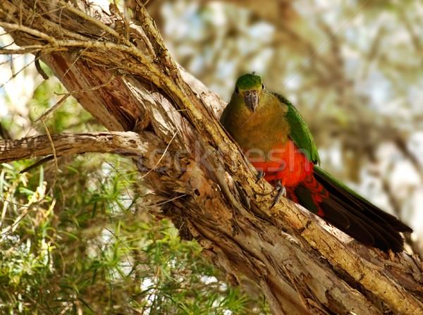 Wiosną młodych niedojrzały australijczyk króla papuga Zdjęcia stock © sherjaca