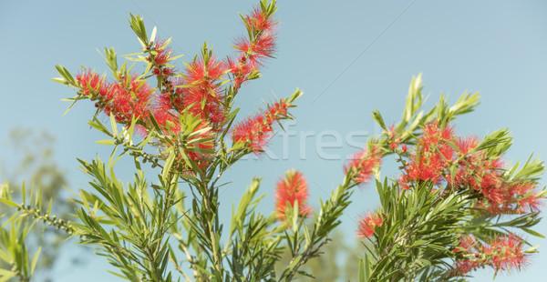 Kırmızı kırmızı çiçekler yeşil yeşillik yerli kır çiçeği Stok fotoğraf © sherjaca