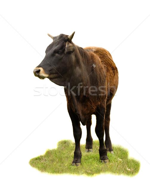 Rindfleisch Rinder Rasse Kuh isoliert Stock foto © sherjaca