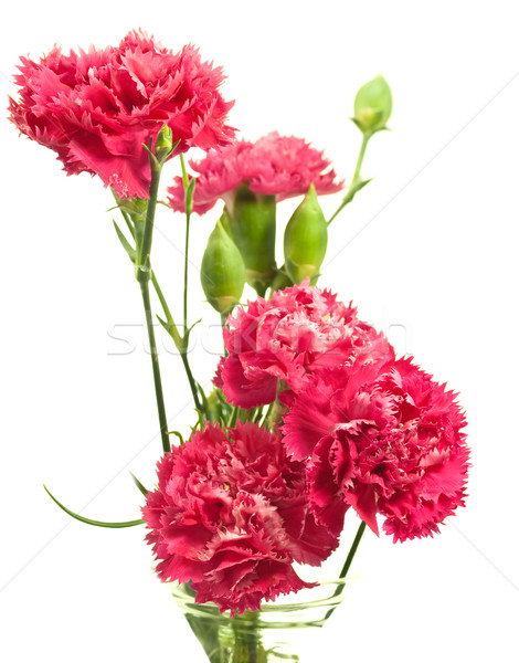 pink carnation array over white Stock photo © sherjaca